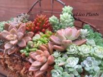 calico-plants