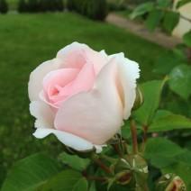 薔薇色の手紙