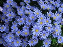 Blue daisy