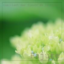 fleur de Pajure